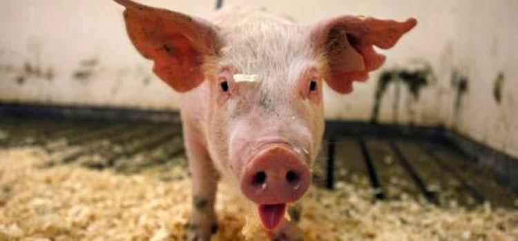 Varios países prohíben la importación de ganado porcino de EE.UU ante los casos de PEDv