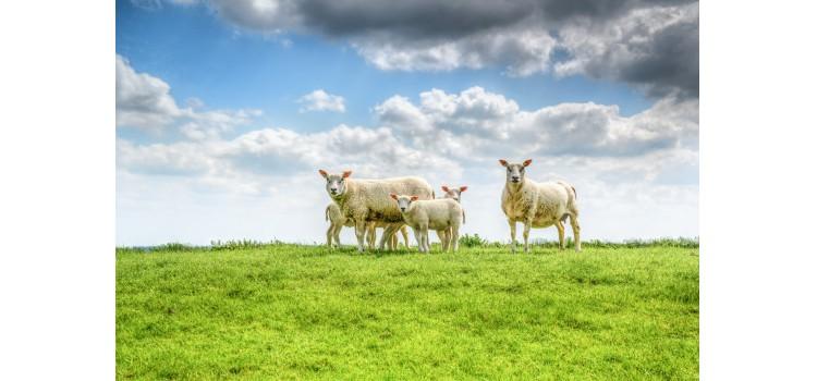 Nuevas técnicas de refrigeración para alargar la vida útil de la carne de cordero