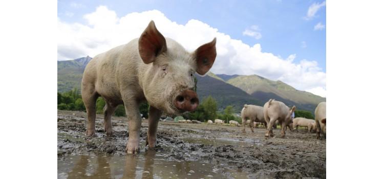 Evaluación del ácido láctico y acético para reducir la contaminación microbiológica en las canales de porcino.