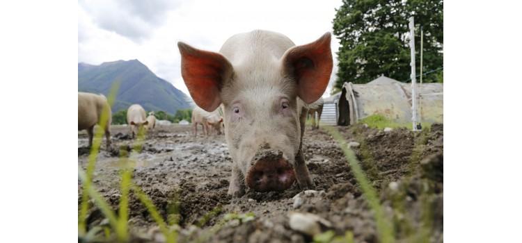 """""""BIENESTAR ANIMAL CERTIFICADO"""" el nuevo sello para avalar las buenas prácticas del sector porcino"""