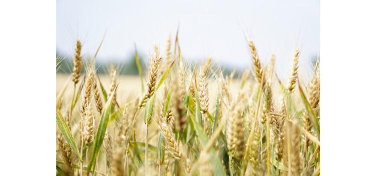 Se revela la identidad de uno de los responsables de la alergia a trigo duro