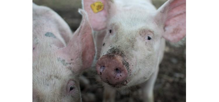 Confiscan 21 toneladas de cerdo español por peste porcina en Macedonia del Norte