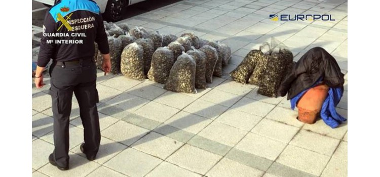 Desmantelada una red internacional que introducía almejas contaminadas en España