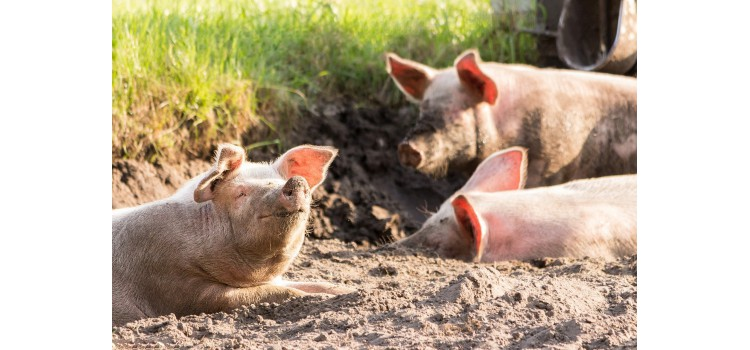 OIE y la FAO lanzan hoy una iniciativa conjunta para el control mundial de la peste porcina africana